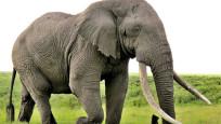 200 fil su ve yiyecek bulamadığı için telef oldu