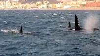 İtalya sahillerinden geçen katil balinalar görenleri şaşırttı