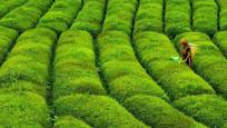 Rize'den  7,2 milyon dolarlık çay ihracı