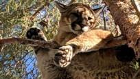 Ağaçta mahsur kalan dağ aslanını itfaiyeciler kurtardı