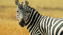 150 yıllık sır: Zebraların çizgilerinin ne işe yaradığı sorusuna yanıt bulundu
