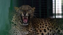 Sri Lanka'da leoparın saldırdığı kişi öldü