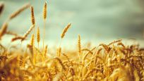Türkiye en çok tahılda kendine yetemiyor: Çay ve soğanda yeterlilik düştü