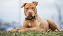 Çocukları en çok ısıran köpek cinsi 'pitbull