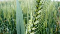 Buğday bu yıl erken olgunlaştı