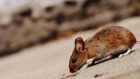 Hollanda, benzeri görülmemiş bir fare ve sıçan saldırısıyla karşı karşıya