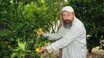 15 yıllık ağaç, 5 ay önceden portakal verdi