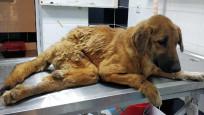 Çöpte bulunan felçli köpek yeni evine kavuştu