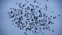 Kuşlar iş bölümü yapıyorlarmış