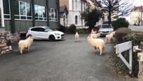 İngiltere'de virüs nedeniyle boş kalan sokakları yabani keçiler bastı
