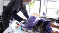 Kediler korona virüsten enfekte olabiliyor