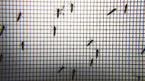 Sivrisinekler neden bazı insanları sokmayı daha çok seviyor?