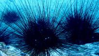 Zehirli deniz kestanesi uyarısı: Akdeniz'e yayıldı