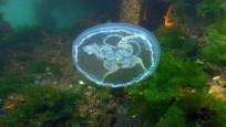 Marmara'da görülen ay denizanası için uyarı