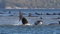 Avustralya'da yaklaşık 300 balina kıyıya vurdu