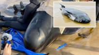 Avustralya'da mahsur kalan balinalardan en az 90'ı öldü