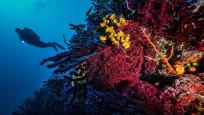 Dünyada sadece 2 yerde: Ayvalık'ın kırmızı mercanları