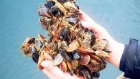 Midye yetiştirene 'deniz vergisi'