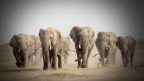 Filler mutasyon geçirdi: Nedeni 'kaçak avcılar'