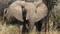 Kaçak avcı filin kurbanı oldu