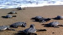 543 bin 704 caretta caretta yavrusu denizle buluştu