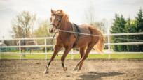 Atların ne zaman evcilleştirildiği ortaya çıktı