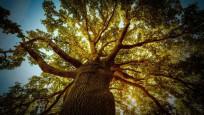 Kirlilikle mücadele: Meşe ağaçları öğrenebiliyor!