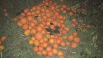 5 ton portakalı çalarken suçüstü yakalandılar