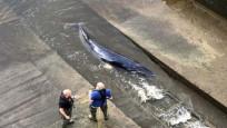 Thames nehrine giren balina için kurtarma operasyonu