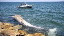 Sahile 8 metrelik oluklu balina vurdu