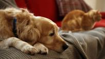 Evcil hayvanlarda 'ayrılık anksiyetesi' riski
