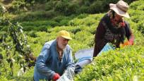 Yaş çay hasadı başladı