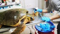 Plastik atık, ilk kez deniz kaplumbağalarının kaslarında da saptandı