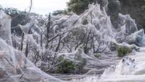 Avustralya'da şimdi de her yeri örümcek ağı kapladı