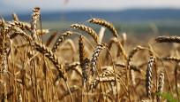 395 bin ton ekmeklik buğday ithalatı gözler ihale fiyatında