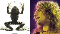 Ekvador'da yeni keşfedilen kurbağa türüne rock grubu Led Zeppelin'in adı verildi