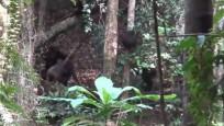Yaban hayatında şempanzeler ilk kez goril öldürdü