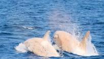 İlk kez iki beyaz katil balina görüldü