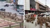 Maymunlar cehennemi! Şehir merkezini işgal ettiler...