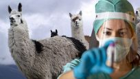 Korona virüse karşı lama antikoru