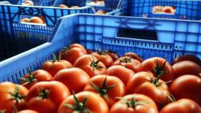 Fiyatı düşen domatese taban fiyat teklifi