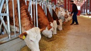 Hayvancılık yatırımına yüzde 100 hibe