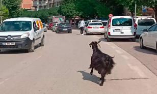 Otomobilden kaçan keçi, trafikte sürücülere zor anlar yaşattı