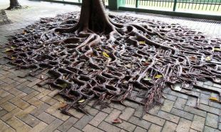 İşte dünyanın en sıra dışı ağaçları