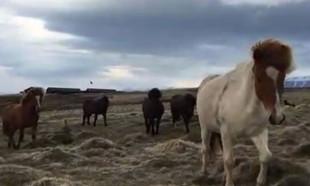 Doğa yürüyüşçüsünün etrafını vahşi atlar sardı