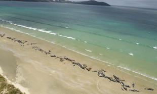 Yeni Zelanda'da 145 balina karaya vurarak öldü