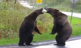 Ayıların yol ortasında kavgası böyle görüntülendi