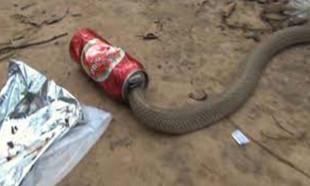 Susuz kalan kobra yılanı boş bira kutusuna sıkıştı
