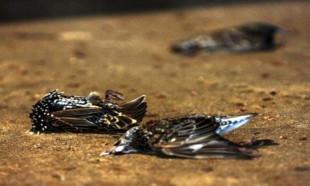 Önemli 'salgın' uyarısı: Ölü kuş görürseniz sakın dokunmayın!