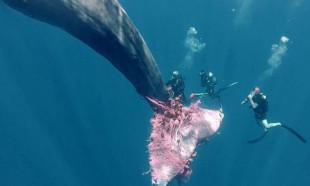Balıkçı ağına takılan balinayı kurtarma çalışmaları günlerdir sürüyor